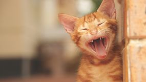 Ginger Cat Making Funny Face - sbadigliando immagine stock