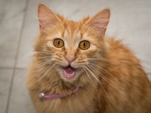 Ginger cat meowing. At the camera Royalty Free Stock Images