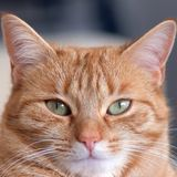 Ginger Cat mignon Photographie stock libre de droits