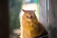 Ginger cat in morning light Royalty Free Stock Photos