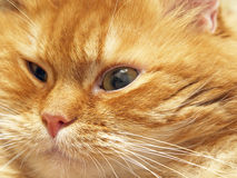 Ginger cat muzzle. Royalty Free Stock Photos