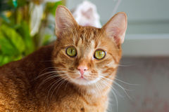 Ginger Cat. My funny sunny ginger cat Stock Image