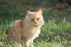 Ginger cat in nature Royalty Free Stock Photo