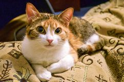 Ginger cat with orange eyes looks at camera closeup stock photography