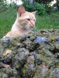 Ginger cat outdoor portrait. Ginger cat on a rock portrait Royalty Free Stock Images