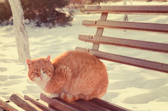 Ginger cat outdoors in winter Royalty Free Stock Images