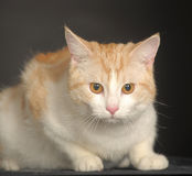 Ginger Cat  over dark background. Royalty Free Stock Images