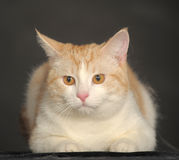 Ginger Cat  over dark background. Royalty Free Stock Photo