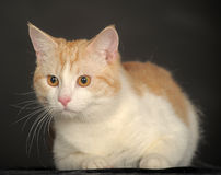 Ginger Cat  over dark background. Royalty Free Stock Photography