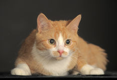 Ginger Cat  over dark background. Stock Photos