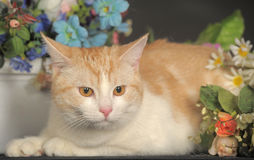 Ginger Cat  over dark background with flowers Royalty Free Stock Photo