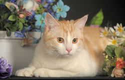 Ginger Cat  over dark background with flowers Royalty Free Stock Photography