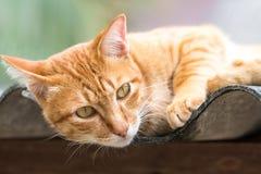 Ginger Cat. Over green background. Animal portrait Stock Image