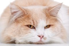 Ginger Cat  over white background. Royalty Free Stock Photography