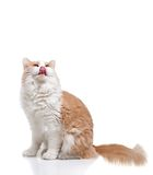 Ginger Cat  over white background. Royalty Free Stock Photo