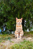 Ginger cat in the park. Domestic ginger cat sitting under the tree and watching Royalty Free Stock Photo