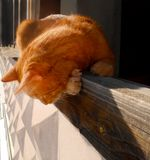 Ginger cat peeking from the balcony. Red domestic kitten close-up Stock Photos