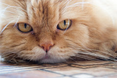 Ginger cat. Pensive look red cat close-up Royalty Free Stock Photos