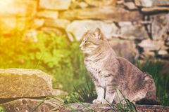 Ginger cat perched sitting on a garden stone. Looking intently back over its shoulder as it watches something, profile view with golden glow from the sun Stock Photo