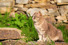 Ginger cat perched sitting on a garden stone Royalty Free Stock Photography