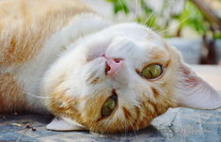Ginger cat on plank and moved his head upside down. Ginger cat on the plank and moved his head upside down Royalty Free Stock Images
