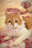 Ginger cat playing with a garter, and other wedding accessories items for the bride Royalty Free Stock Images