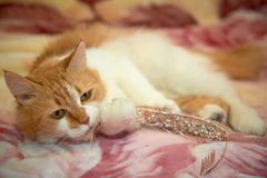 Ginger cat playing with a garter, and other wedding accessories items for the bride royalty free stock photos