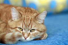 Ginger Cat Portrait Stock Photography