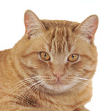 Ginger cat portrait Royalty Free Stock Photos