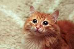 Free Ginger Cat Portrait. Close-Up Of A Cats Head Royalty Free Stock Image - 150120876