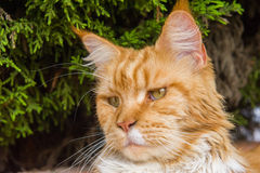Ginger cat portrait. Portrait of cute ginger cat Royalty Free Stock Photo