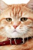 Ginger Cat Portrait Stock Photos