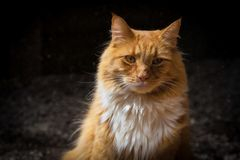 Ginger cat portrait. Ginger cat portrait with a intent look royalty free stock photos