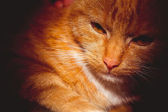 Ginger Cat Portrait Retro. Cute ginger cat portrait, close up of a cats head, filtred photo Royalty Free Stock Photography