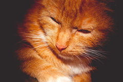 Ginger Cat Portrait Retro. Cute ginger cat portrait, close up of a cats head, filtred photo Royalty Free Stock Photo