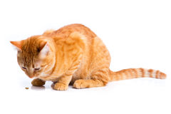 Ginger cat portrait studio isolated Stock Photography