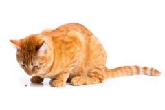 Ginger cat portrait studio isolated Stock Photography