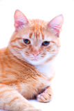 Ginger cat portrait studio isolated Royalty Free Stock Photos