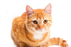 Ginger cat portrait studio isolated Stock Image