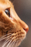 Ginger Cat Profile Close Up Images stock
