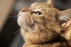 Ginger Cat profile. Green eyed Ginger Cat gazing Royalty Free Stock Photo