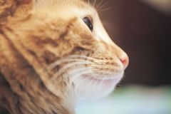 Ginger Cat Profile. Ginger Hair Cat Profile. Macro Close Up royalty free stock images