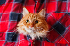 Ginger cat put it's head in a tartan shirt. Funny pet Royalty Free Stock Image