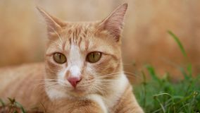 Ginger cat with radar ears looking, thinking and listening to sounds, close-up shot. Ginger cat with radar ears looking, thinking and listening to sounds in stock video footage