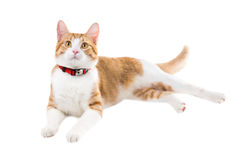 Ginger cat in a red collar lying on a white background Stock Photo