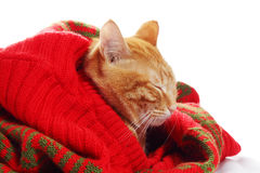 Ginger cat and red sweater Stock Photography