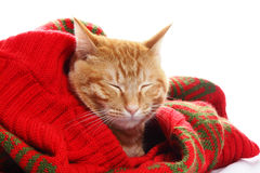 Ginger cat and red sweater Stock Photo