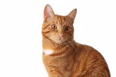 Ginger cat. Red cat on white background Royalty Free Stock Photography