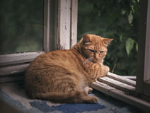 Ginger cat relaxing on a balcony. Domestic cat Stock Photography