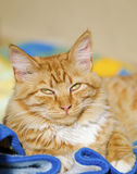 Ginger cat relaxing Royalty Free Stock Photos